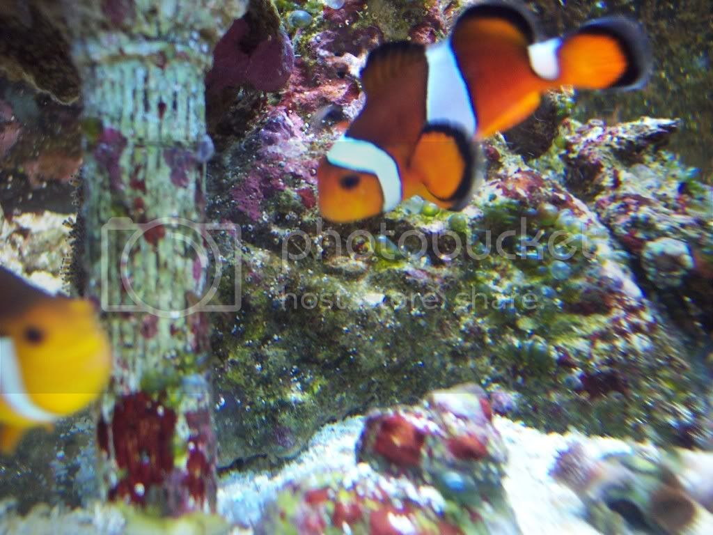 000 0053 - Clownfish - A first for me (that I've noticed)