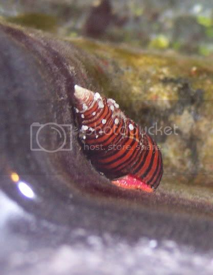 RedBlackSnail2 - My red &amp; black snail